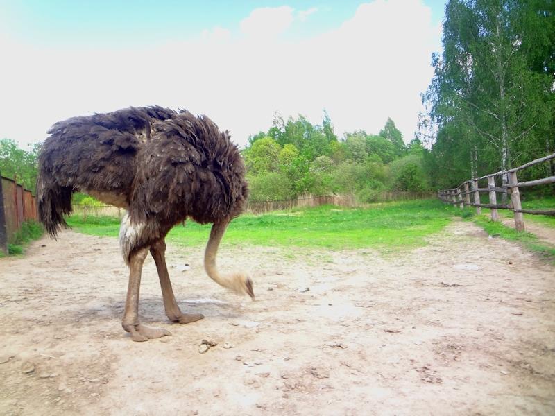 Дудутки - страус в усадьбе
